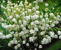 Ландыши. Многолетние цветы
