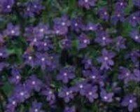 Анхуза или Воловик. Садовые цветы