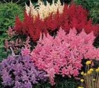 Астильба. Многолетний садовый цветок
