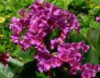 Бадан или Камнеломка. Садовые цветы