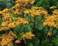 Бузульник. Многлетний садовый цветок
