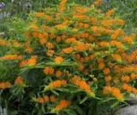 Ваточник. Многолетний садовый цветок