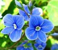 Вероника. Многолетние садовые цветы