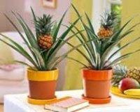 Ананас комнатный. Плодовые растения