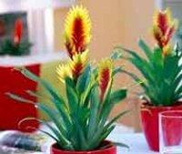 Вриезия. Комнатный цветок