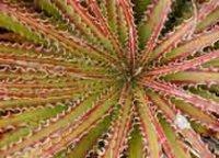 Гехтия. Комнатное растение