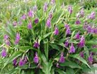 Роскоя. Клубневый садовый цветок