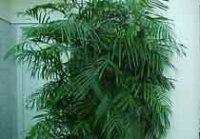 Хамедория. Комнатное растение