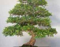 Комнатное Оливковое дерево или Маслина