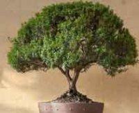 Мирт или Миртовое комнатное дерево