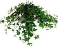 Хедера. Вьющиеся комнатное растение