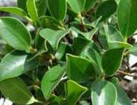 Фикус. Комнатное растение