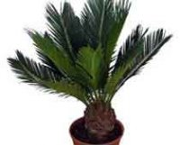 Цикас или Саговник. Комнатное растение