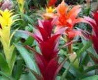 Гусмания. Комнатный цветок
