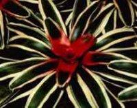 Неорегелия. Комнатный цветок