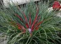 Фасикулярия двуцветная. Декоративный цветок