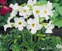 Инкарвиллея. Полукустарниковый цветок
