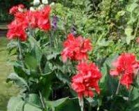 Канна. Декоративный цветок