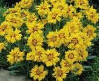 Кореопсис. Многолетний садовый цветок