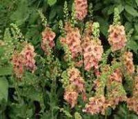 Вербаскум или Коровяк. Садовый цветок