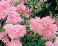 Таволга или Лабазник. Многолетний цветок