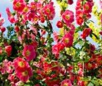 Мальва или присварник. Садовые цветы