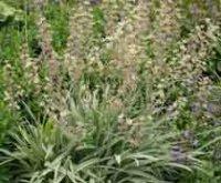 Антиклея или зигаденус. Садовые цветы
