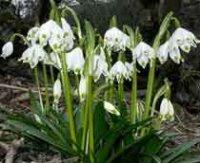 Белоцветник. Многолетний садовый цветок