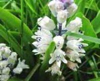 Бельвалия. Многолетний садовый цветок