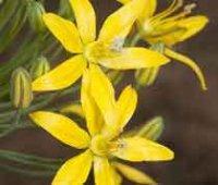 Блюмерия. Многолетние садовые цветы