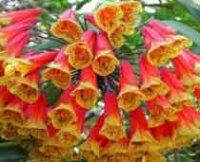 Бомарея. Однолетний садовый цветок