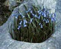 Бримёра. Многолетний садовый цветок