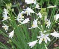 Венечник. Многолетний садовый цветок