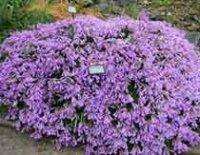 Пестемон. Многолетний декоративный цветок