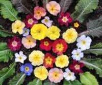 Примула. Садовые цветы