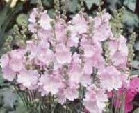 Сидальцея. Многолетний садовый цветок