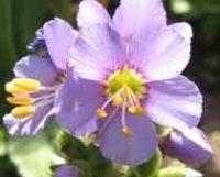 Полемониум или седуха. Садовые цветы