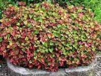 Хауттюйния. Многолетний садовый цветок