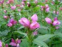 Хелоне. Многолетние садовые цветы