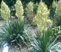 Юкка. Многолетние садовые цветы