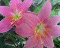Габрантус - Зефирантес или дождевая лилия