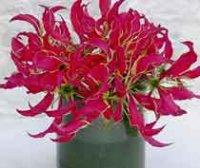 Глориоза. Многолетний садовый цветок