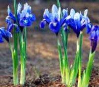 Иридодиктиум. Многолетний садовый цветок