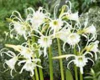 Исмена или гименокаллис. Садовый цветок