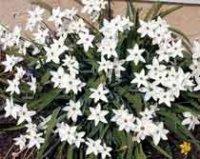 Ифейон. Многолетний садовый цветок