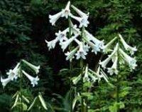 Кардиокринум. Многолетние садовые цветы