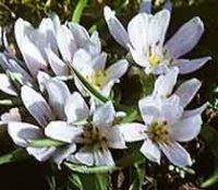 Мерендера. Многолетние садовые цветы