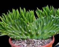 Аустроцилиндропунция или кактус пустынный