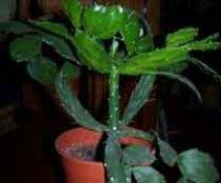 Бразилиопунция. Комнатный кактус
