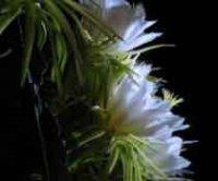 Гилоцереус или Лесной цереус. Комнатный кактус